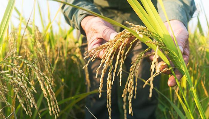بعد إقرار نجاح مشروعه .. قريباً الأرز السوري على موائدنا